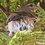 Pareja de pardillos cuidando de su nido. La Guardia (Toledo) 6-6-2021