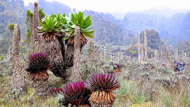 Unterwegs in einer Traumlandschaft. Üppige tropische Vegetation beim Aufstieg zum Ruwenzori.