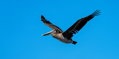Pelican over Carmel
