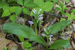 Showy Orchis (Galearis spectabilis) (DFL1135)