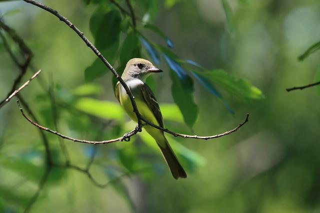 Moucherolle a ventre jaune/Yellow-bellied Flycatcher