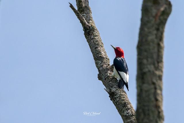 9521 Red-headed Woodpecker