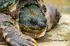 Snapping Turtle with worms