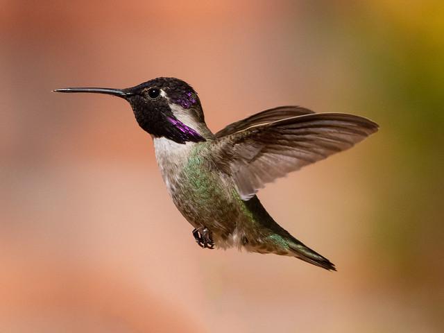 Male Costa's hummingbird on the patio