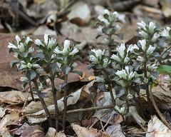 Virginia Pennywort (Obolaria virginica) (DFL1139)