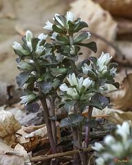 Virginia Pennywort (Obolaria virginica) (DFL1138)