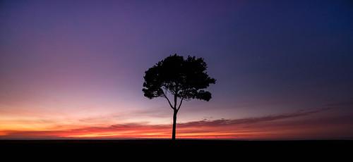 A Napier Tree