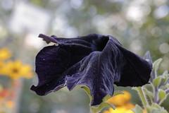Dark Violet - No Black