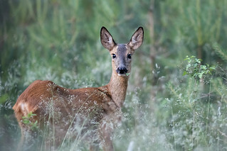 Ree / Roe deer / Capreolus capreolus