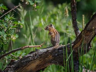 Least Chipmunk, Sandia Mountains - Explored!