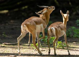 Deer goat antelope