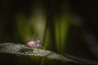 lynx spider down in the dew