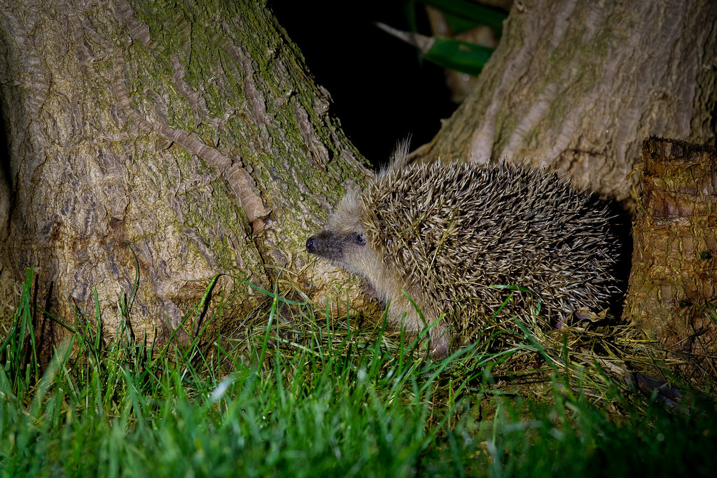 (Young) Hedgehog Foraging In The Night