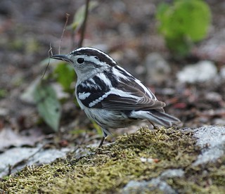 Black-and white warbler is ready for nesting