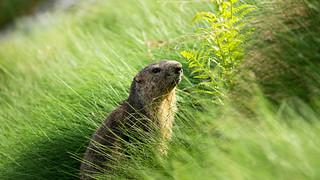 vain groundhog