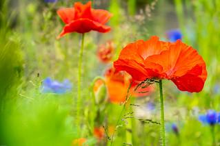 Poppies rule