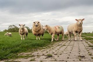 among sheep