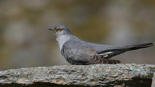 Cuco-canoro / Cuco común / Common Cuckoo