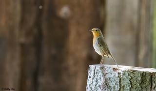 Rouge-gorge familier (Erithacus rubecula) - Familiar robin