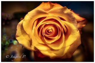 Rosenblüte immer schön anzuschauen 😊