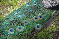 Seguine Mansion Peacock, Prince's Bay