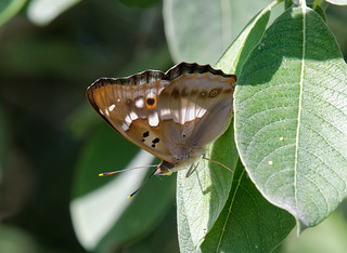 Переливница малая · Apatura ilia · Lesser Purple Emperor