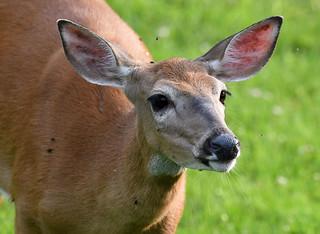 850_3835 White-tail Deer