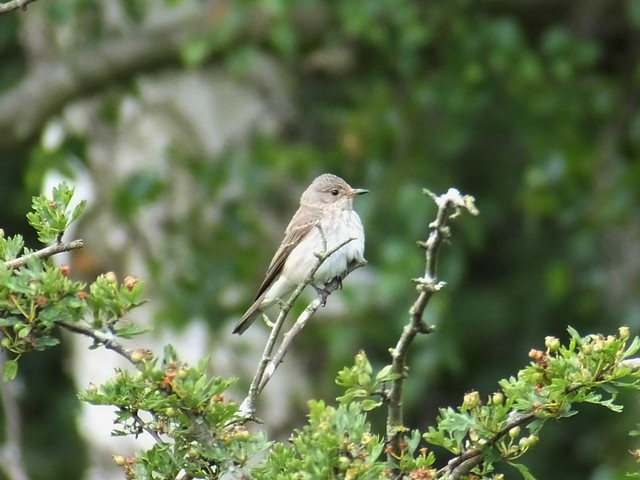 Photo:Spotted Flycatcher By Aerialpete
