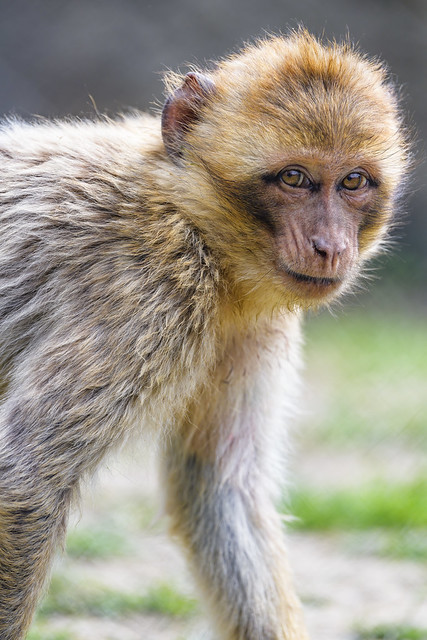Photo:Young Barbary macaque walking and looking a bit back By Tambako the Jaguar