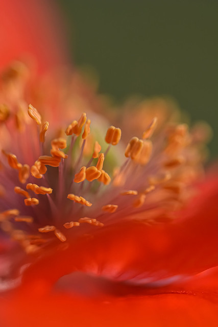 Photo:The hart of a poppy By Esther's FOONART&CREATIONS