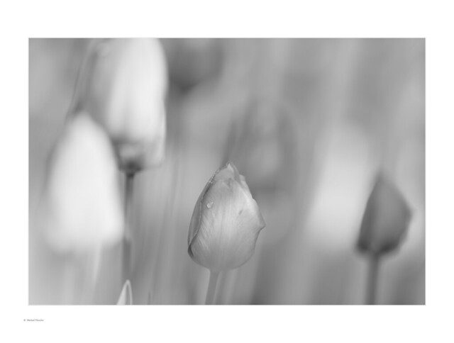 Tulips in mono