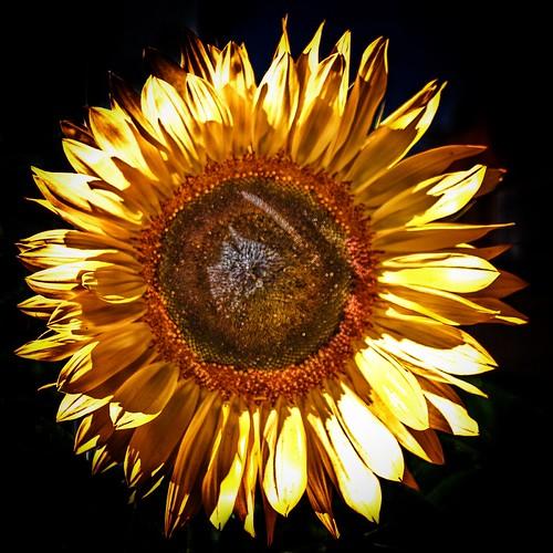 Sonnenberg Gardens & Mansion Historic Park ~ Canandaigua NY ~  Sunflower
