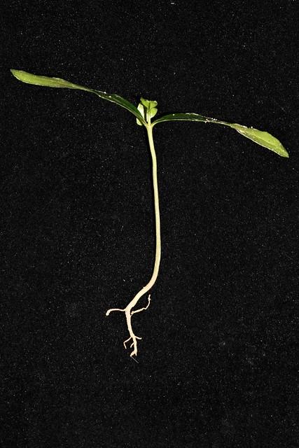 Photo:Strophanthus caudatus By reuben.lim
