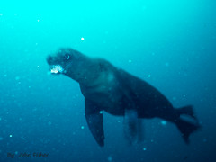 Bark of the Sea Lion