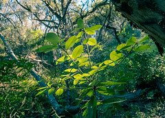 Sycamore (?) leaves near Turner Creek