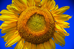 Sunflower at Burnside Farms Nokesville VA