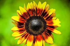 Black-eyed Sunflower at Burnside Farms Nokesville VA