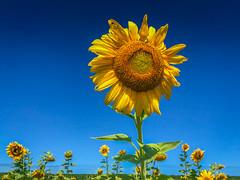 Field of Sunflowers at Burnside Farms Nokesville VA