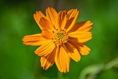 Wild Orange flower at Burnside Farms Nokesville VA
