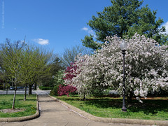 Cherry Blossoms in the Hood
