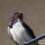 Aves en las lagunas de La Guardia (Toledo) 27-6-2021