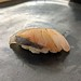 줄무늬 전갱이 Japanese horse mackerel