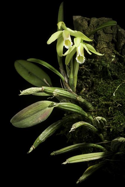Photo:Cattleya luteola fma. flava 'No1' Lindl., Gard. Chron. 1853: 774 (1853). By sunoochi