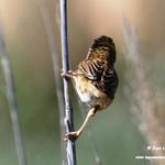 Aves en las lagunas de La Guardia (Toledo) 29-6-2021