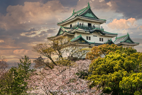 Cherry Blossoms at Wakayama Castle in Japan.