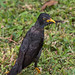 Myna with feather