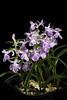Photo:Ponerorchis graminifolia 'Ayame' Rchb.f., Linnaea 25: 228 (1852). By sunoochi