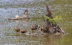 The Hens of Huntley Meadows