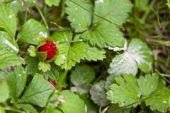 Wild Strawberries, Sandy Ground