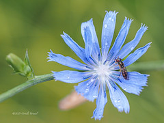 Fly on Chicory